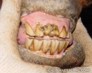 Horse teeth aren't all that pretty anyway - but these are REALLY ugly. Fortunately he is able to eat without difficulty. Is he 16? or late 20's? We don't know.