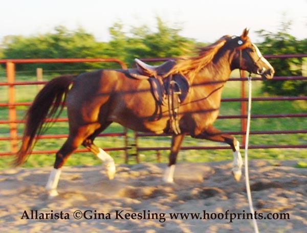 Allie saddled trot